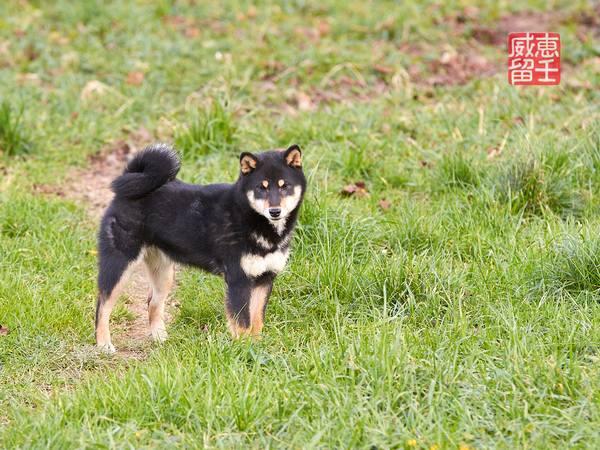 Shiba inu | Yumi 3